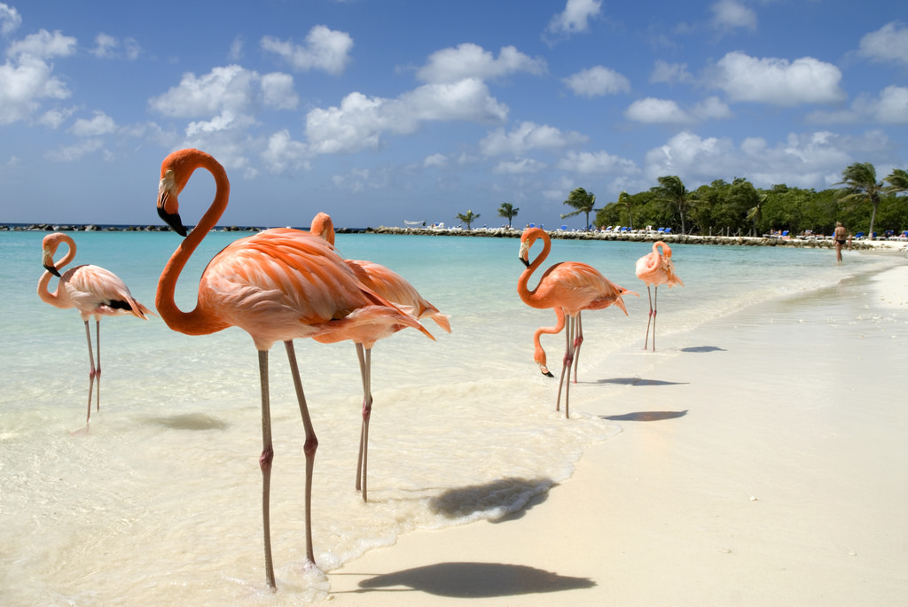 Flamingos in Aruba