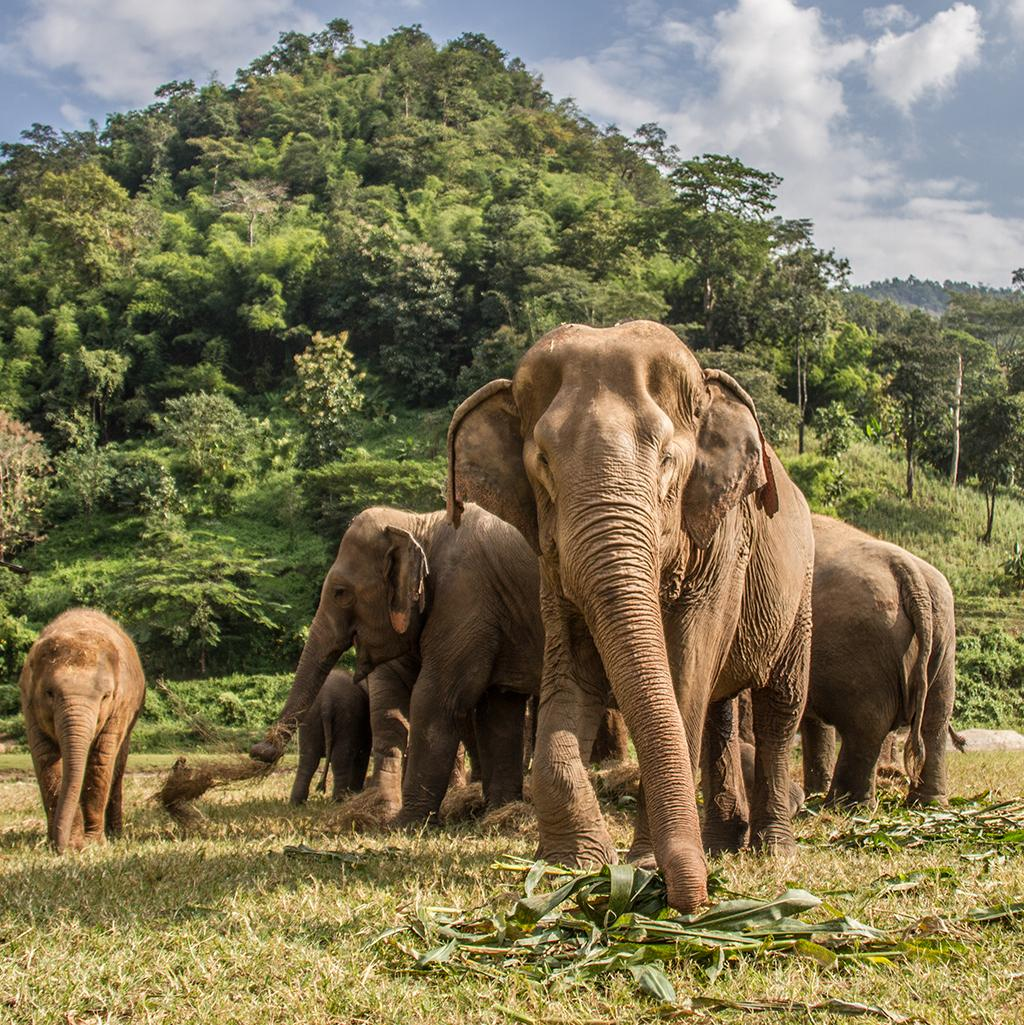 Asian elephants in Chiang Mai, Thailand