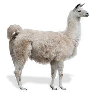Llamas are common in South American countries