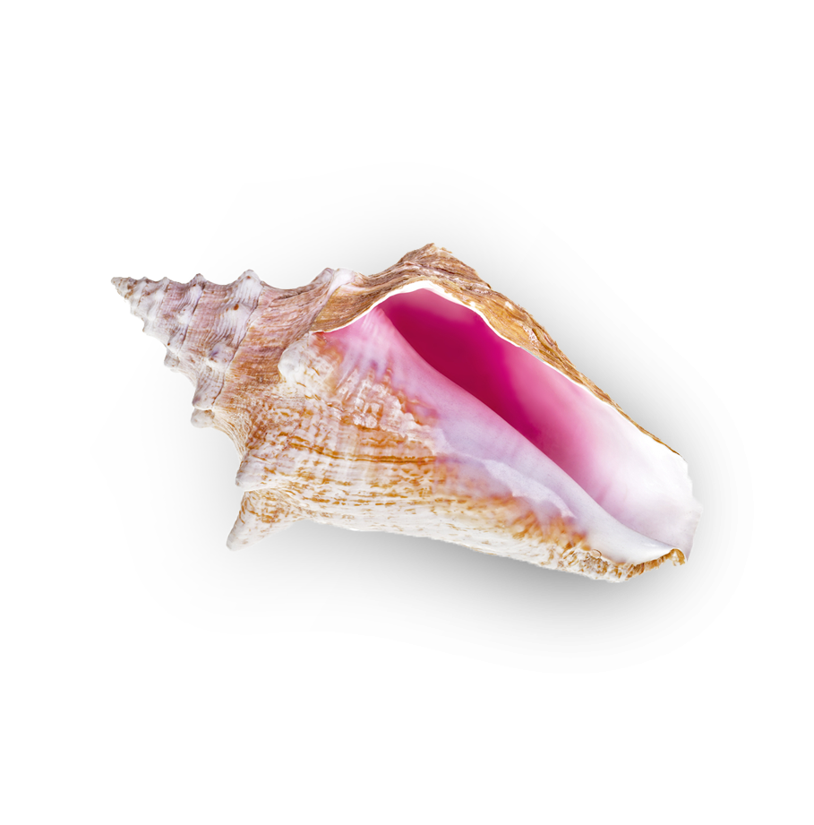Bahamas conch shell