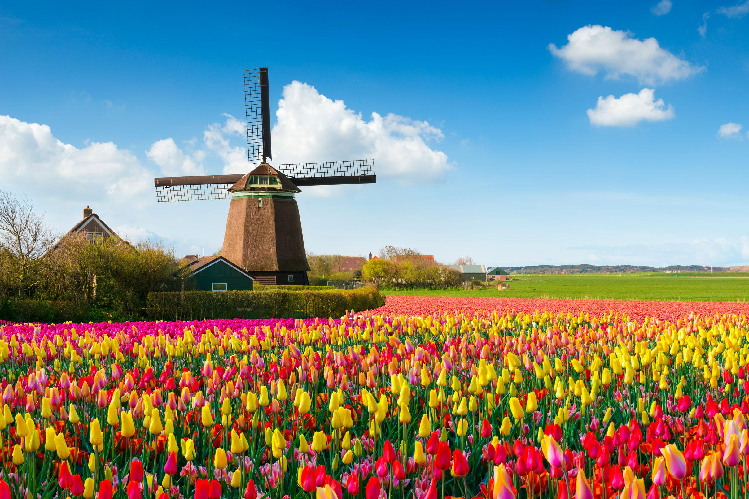 Views of windmills and tulips on a Netherlands vacation package