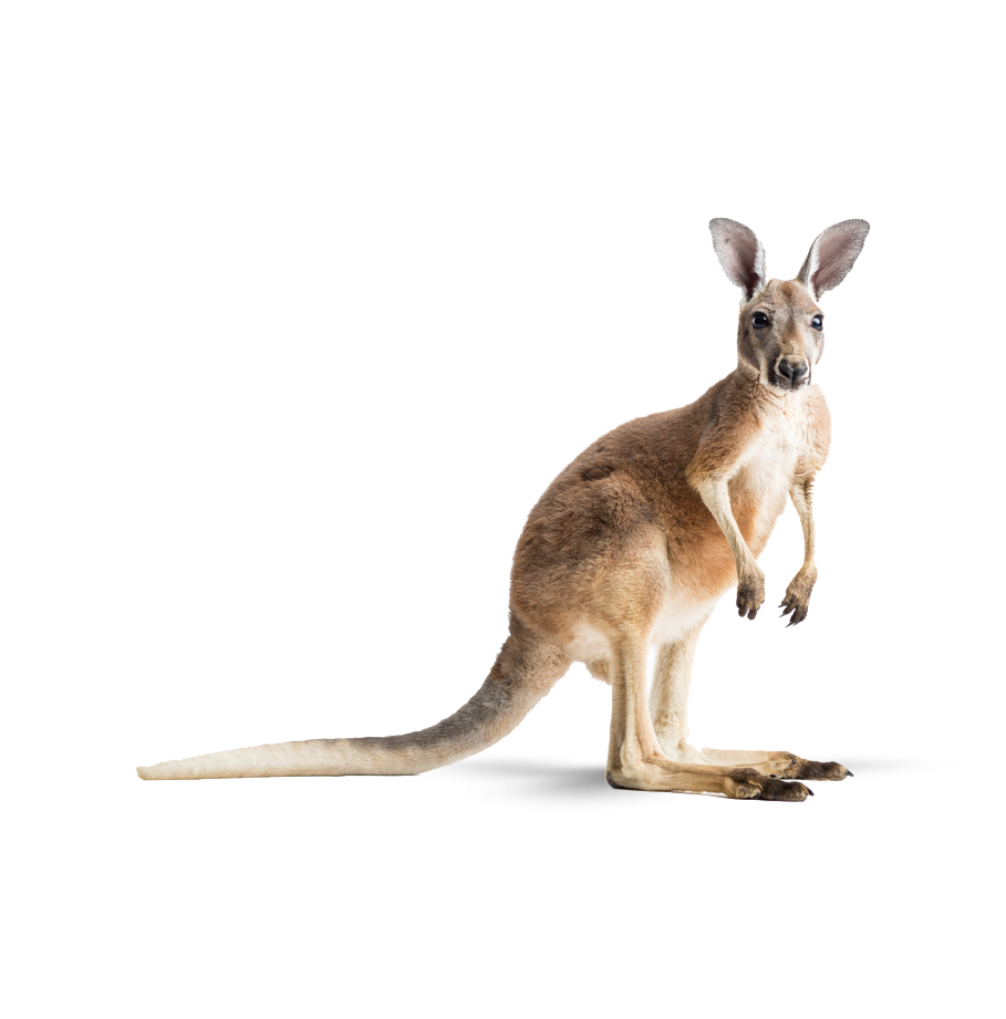 Kangaroo, native to New South Wales Australia