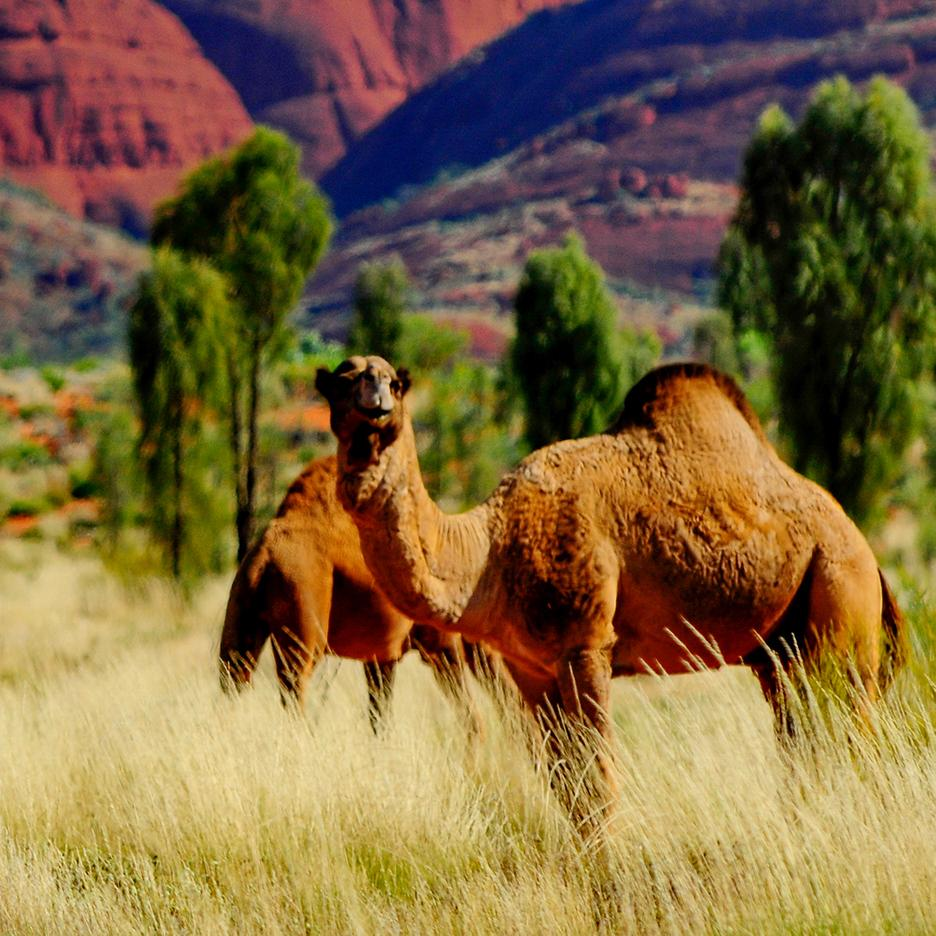 Visit camels with Northern Territory Australia vacations