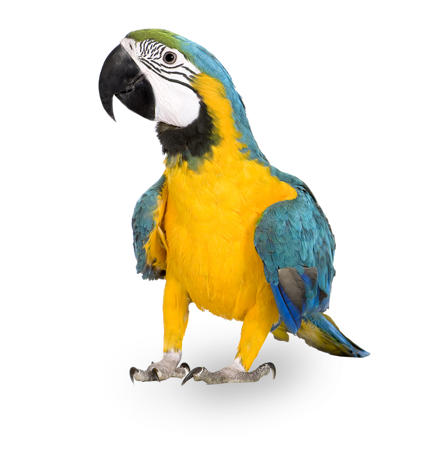 Blue and yellow Macaw parrot native to Panama