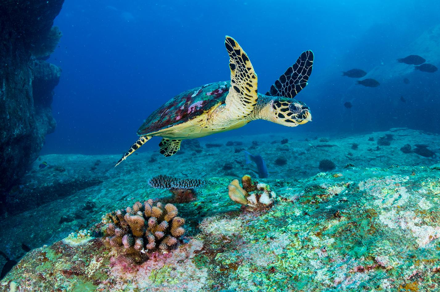 Sea turtle in the water of St. Croix, US Virgin Islands
