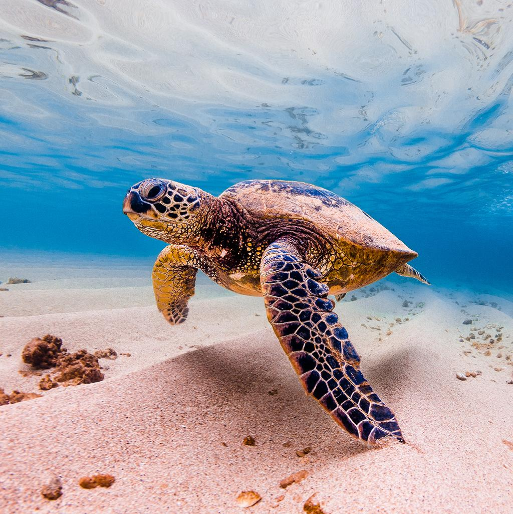 Sea turtle in the waters of the Big Island of Hawaii