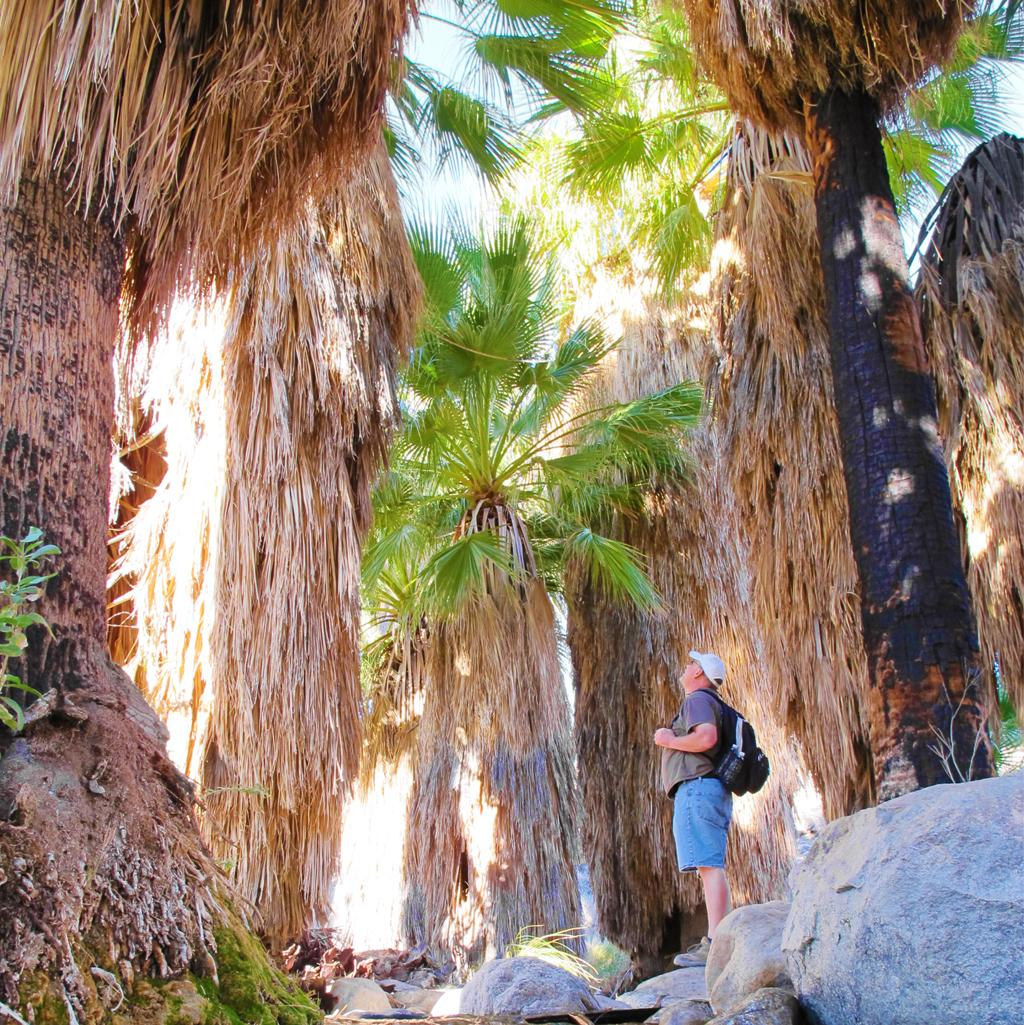 Man staring up at giant palm trees in a desert oasis in Palm Springs, California