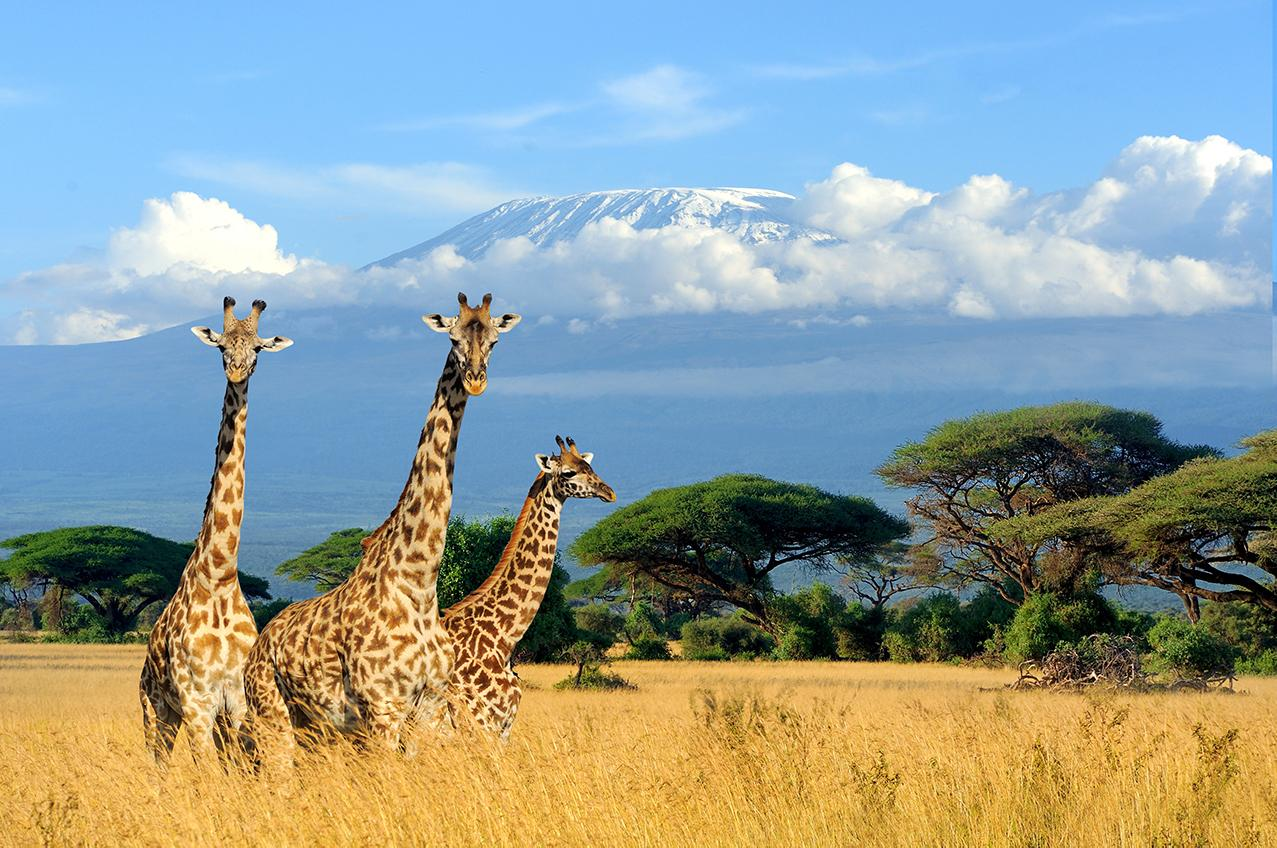 Experience safaris and views of Mt. Kilimanjaro with Africa guided tours