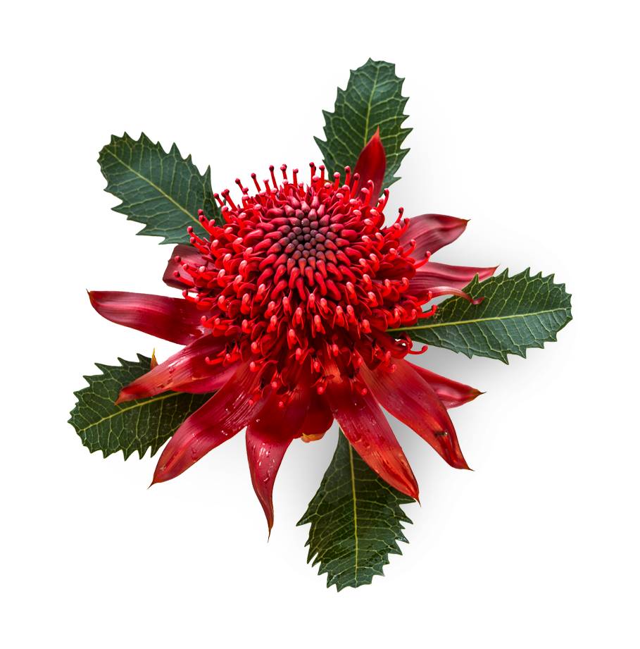 Waratah, the official flower of New South Wales