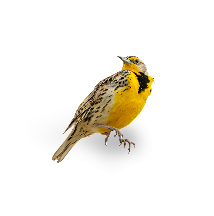 A Western Meadowlark, a yellow bird native to Oregon