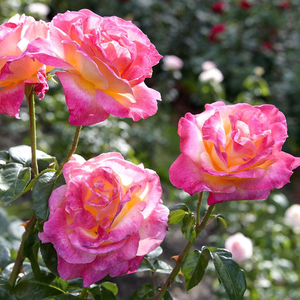 Pink roses from Portland's International Rose Test Garden